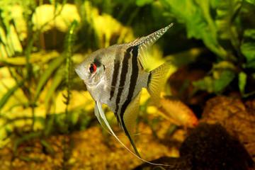Aquarium with fish pterophyllum scalare