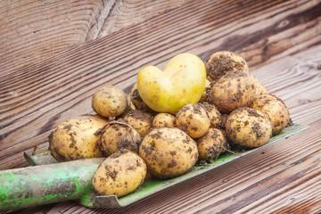 Kartoffeln, frisch ausgegraben