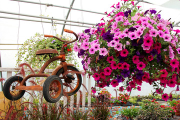 Rusty Old Vintage Tricycle Hanging with Flowers in Greenhouse