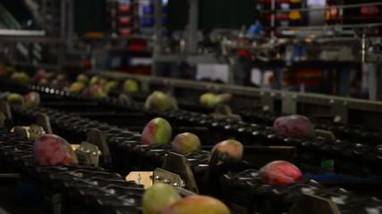 Mangoes fruit in packaging line