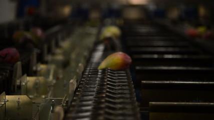Mangoes fruit in line industrial