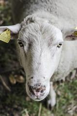 Mouton, brebis