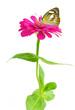 Beautiful Plain butterfly on flower