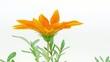 Gerbera flower blossoming