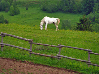 White horse in mountain field