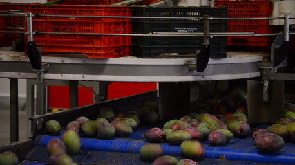 Mangoes fruit in a pack line