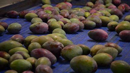 Mangoes fruit industrial packaging chain