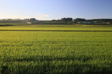 早朝の夏の水田