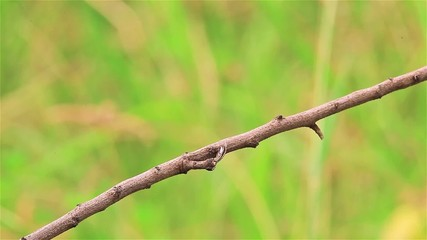 Male Red Avadavat(Amandava amandava) on the branch