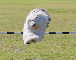 Dog Trial