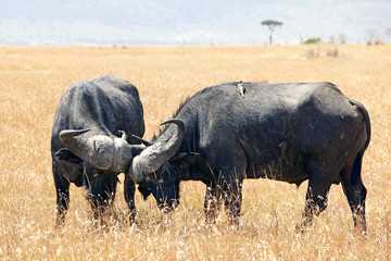 Cape Buffalo Sparring on the Masai Mara in Africa