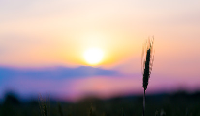 sunrise on the summer wheat field with meadow grass
