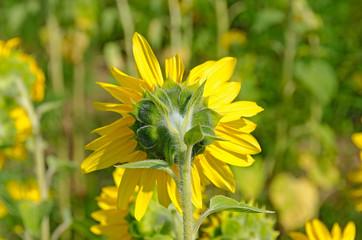 backside of a sunflower in rural field