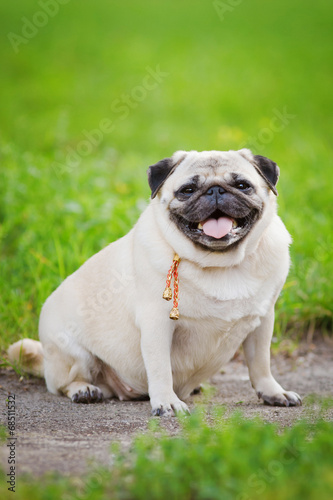 canvas print picture Little fat pug