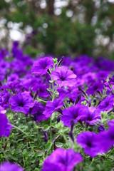 Flowerbed of beautiful purple flowers