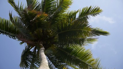 Palm Tree with Coconuts and Blue Sky.