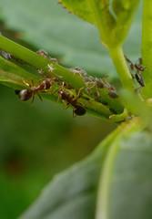 Ameisen-meeting mit Blattläusen