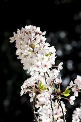 桜の花 東京
