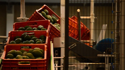 Avocados boxes industrial line