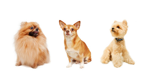 Pomeranian, Chihuahua and Yorkshire Terrier isolated on a white