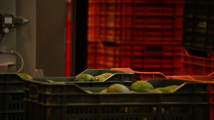 Packaging line avocados