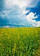 Yellow rape field