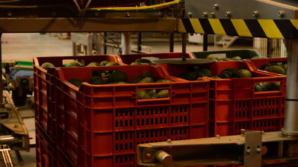 Avocados boxes industry fruit