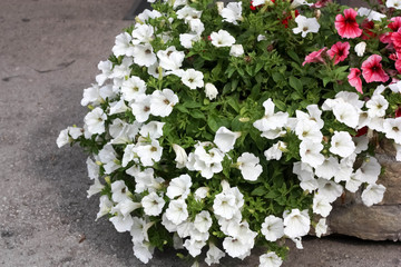 Stone Jardiniere with White Petunia