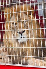lion en cage
