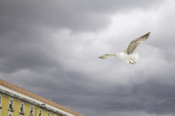 Seagull flying clouds