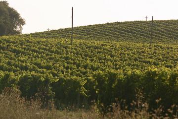 filari di uva
