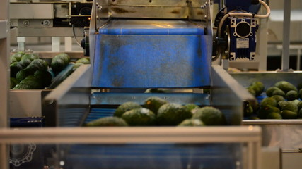 Avocados in packaging line, close up