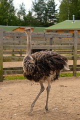 ostrich on a farm in lenigradsky area