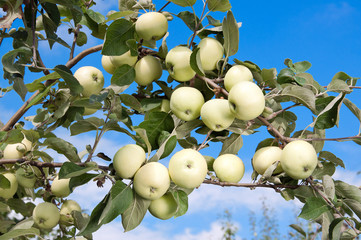 Ripe apples on apple tree branch. Grade white filling