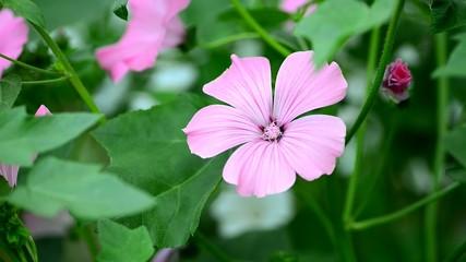 Purple flowers in breeze. Selective focus.