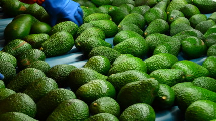 Avocados hass rolling in packaging line