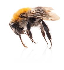 Bumblebee Isolated on white background, macro