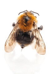 Macro of Bumblebee isolated on white background