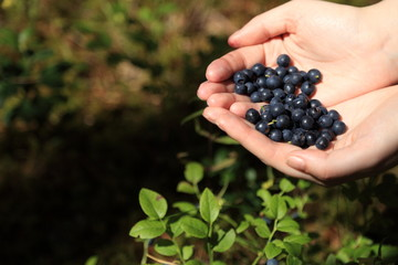 Blueberries in the hands of women