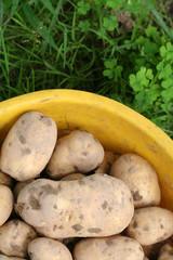 raccolto di patate_ orto