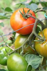 pomodori rossi su pianta