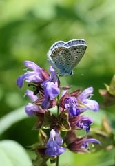 Бабочка голубянка на цветах