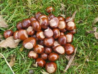 chestnut horse conker