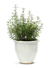 Rosemary in white clay pot