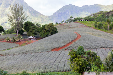 Big Pineapple field in Moorea, French Polinesia