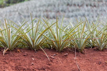 Pineapple field in Moorea, French Polinesia