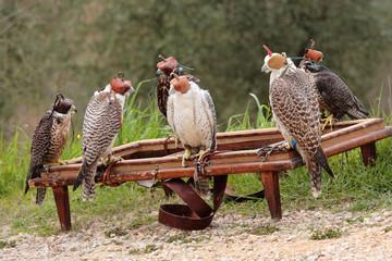 uccelli falco falconiere addestrati per la caccia
