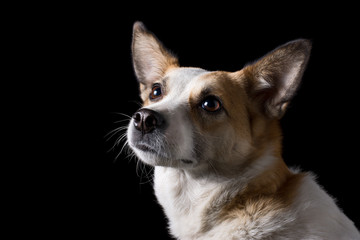 portrait of beautiful dog in studio with black background