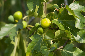 Cluster of green figs growing on a branch