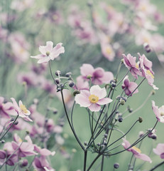 Japanese Anemone (windflower)